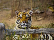 Tiger. Is resting in  Temple in Thailand, Wat Pa Luang Ta Bua Yanasampano Royalty Free Stock Images