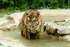 Tiger. Resting in the water Stock Images