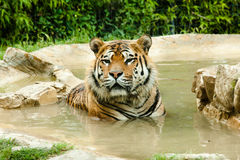 Tiger. Resting in the water Stock Photography