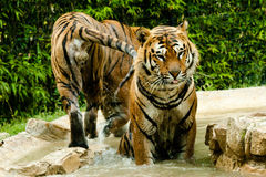 Tiger. Resting in the water Royalty Free Stock Image