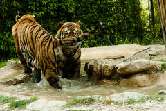 Tiger. Resting in the water Royalty Free Stock Photo