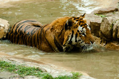 Tiger. Resting in the water Royalty Free Stock Images