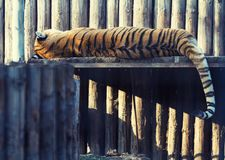Tiger resting on a wood shelf Royalty Free Stock Photography