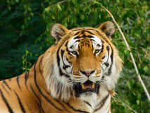 Tiger. Rests after the lunch Stock Photography