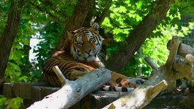 Tiger. A tiger rests in the shade of a tree stock footage