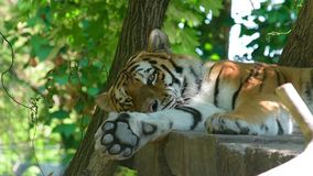Tiger. A tiger rests in the shade of a tree stock video footage