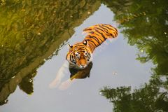 Tiger rests in the summer in the water. From the heat in the zoo stock images