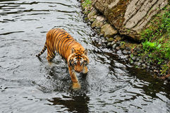 Tiger in river Stock Photography