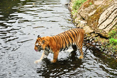Tiger in river Royalty Free Stock Images