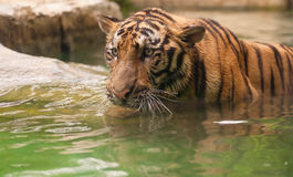 Tiger in river Stock Photos