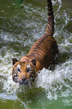 Tiger on river looking up Stock Photo