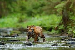 Tiger in the river. Tiger action wildlife scene, wild cat, nature habitat. Tiger running in water. Danger animal, tajga in Russia. Royalty Free Stock Photos