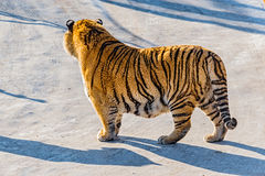 Tiger on the road. Stock Photography