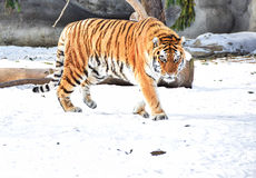 Tiger roaming on snow Royalty Free Stock Photography