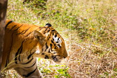 Tiger roaming wild. Stock Photos