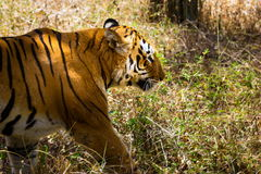 Tiger roaming wild. Royalty Free Stock Photos
