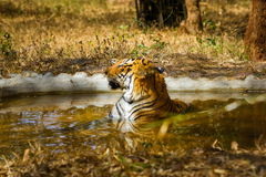 Tiger roaming wild. Royalty Free Stock Photography