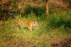 Tiger roaming wild. Royalty Free Stock Photo