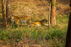 Tiger roaming wild. Stock Image