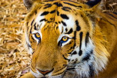 Tiger roaming wild. Stock Photo