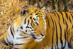 Tiger roaming wild. Royalty Free Stock Image