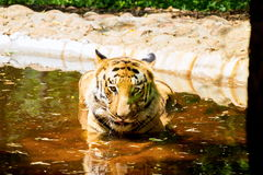 Tiger roaming wild. Royalty Free Stock Images