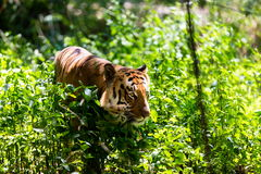 Tiger roaming wild. Stock Image