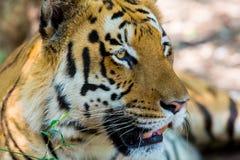 Tiger roaming wild. Royalty Free Stock Photo