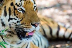 Tiger roaming wild. Stock Photos