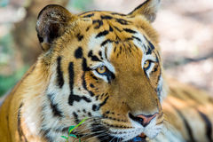Tiger roaming wild. Stock Images