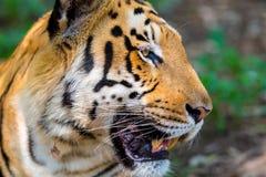 Tiger roaming wild. Royalty Free Stock Photography