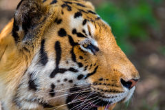 Tiger roaming wild. Stock Photo