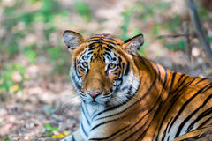 Tiger roaming wild. Royalty Free Stock Photos