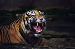 Tiger Roar Warning Attack. Adult Bengal tiger roar warning attack showing teeth. Dark Background. Isolated Royalty Free Stock Images