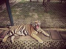 Tiger roar animal zoo cage Stock Photography