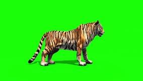 Tiger roar animals side green screen 3D rendering animation