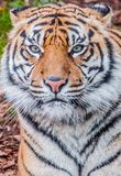 Bengal tiger, queen of forest, tiger close up, feline Royalty Free Stock Photos