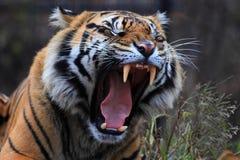 Tiger roar Stock Photography