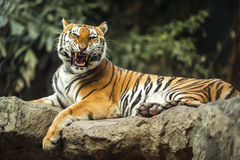 Tiger roar sleeping. On rock Royalty Free Stock Photo