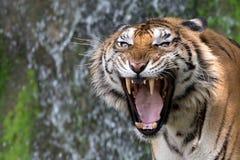 Tiger Roaring Fotografía de archivo libre de regalías