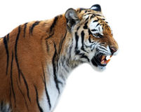 Tiger roaring. Isolated on the white stock photo