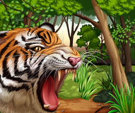 Tiger roaring in the jungle Stock Images
