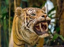 Tiger Roaring (taxidermia) fotografía de archivo