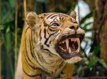 Tiger Roaring (taxidermy) Stock Photography