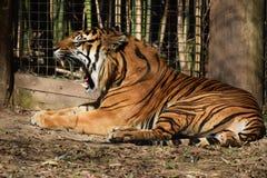 Tiger Roars Royaltyfria Foton