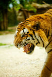 Tiger. Roars angrily while walking Stock Photo