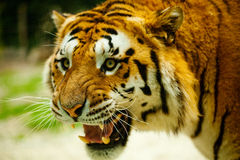 Tiger. Roars angrily while walking Royalty Free Stock Images