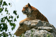 Tiger on the rock. Zoo and wildlife Stock Photography