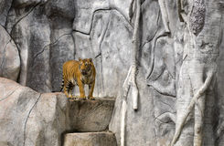 Tiger on rock Royalty Free Stock Images