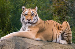 Tiger on rock Stock Images